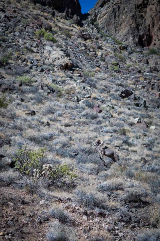 Bighorn Sheep at Valley of Fire State Park, Nevada, USA on northtosouth.us