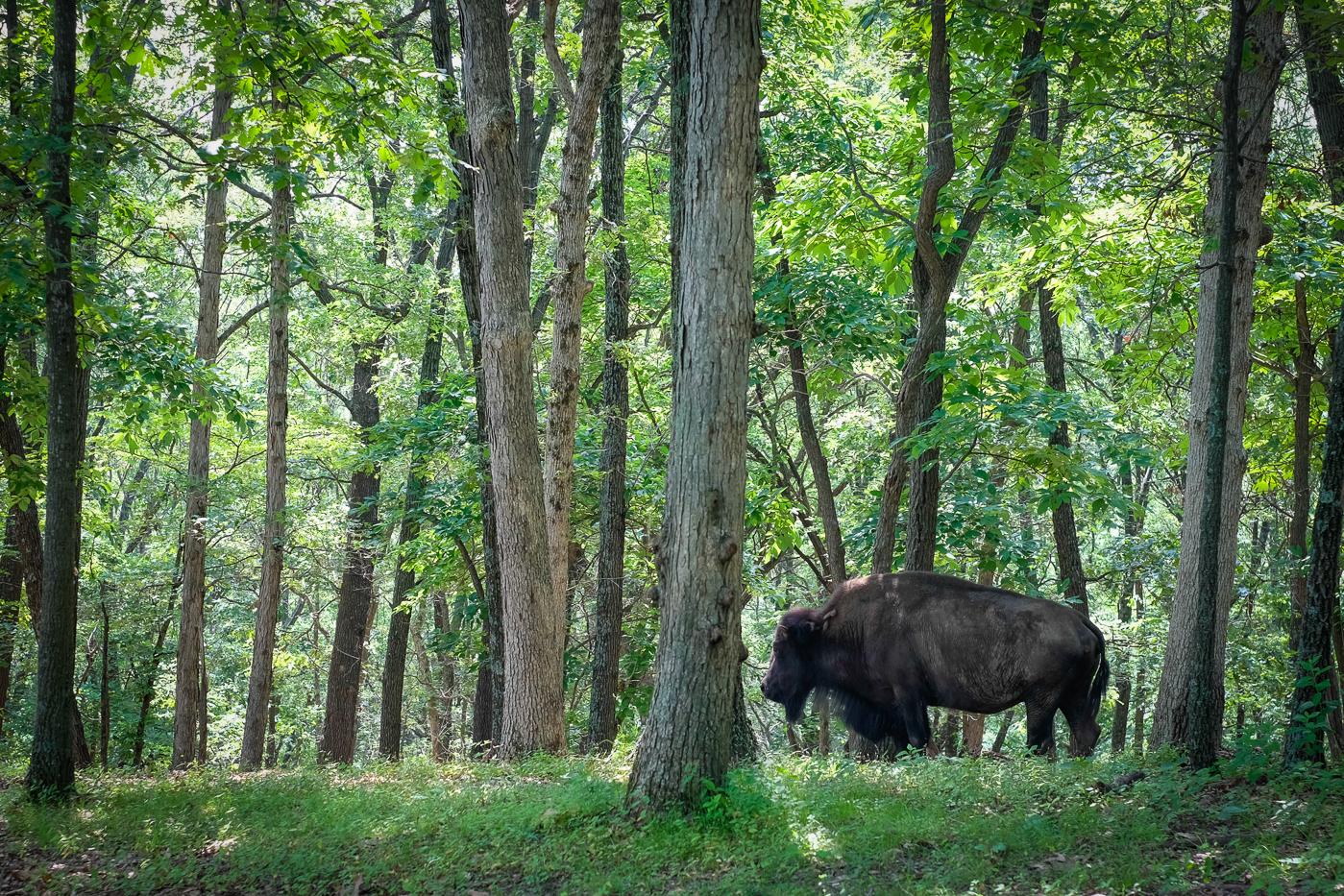 Bison at Lone Elk Park