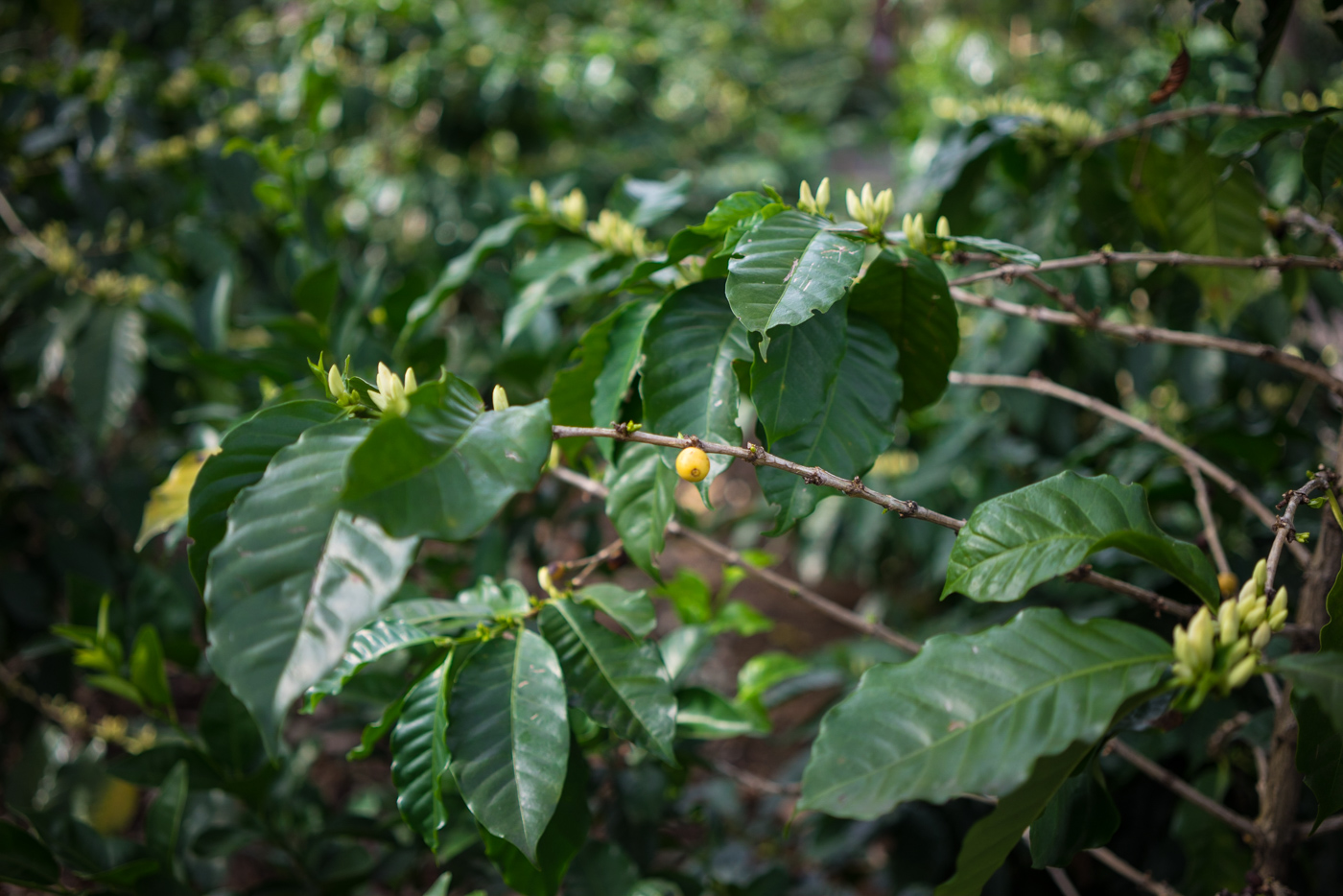 coffee bush at Cafe Britt