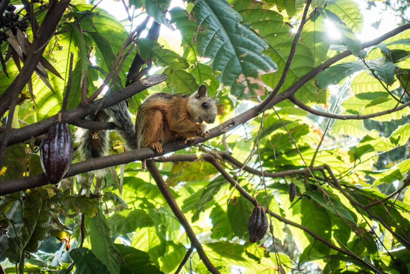 a Costa Rican squirrel on the cacao tree at Cafe Britt