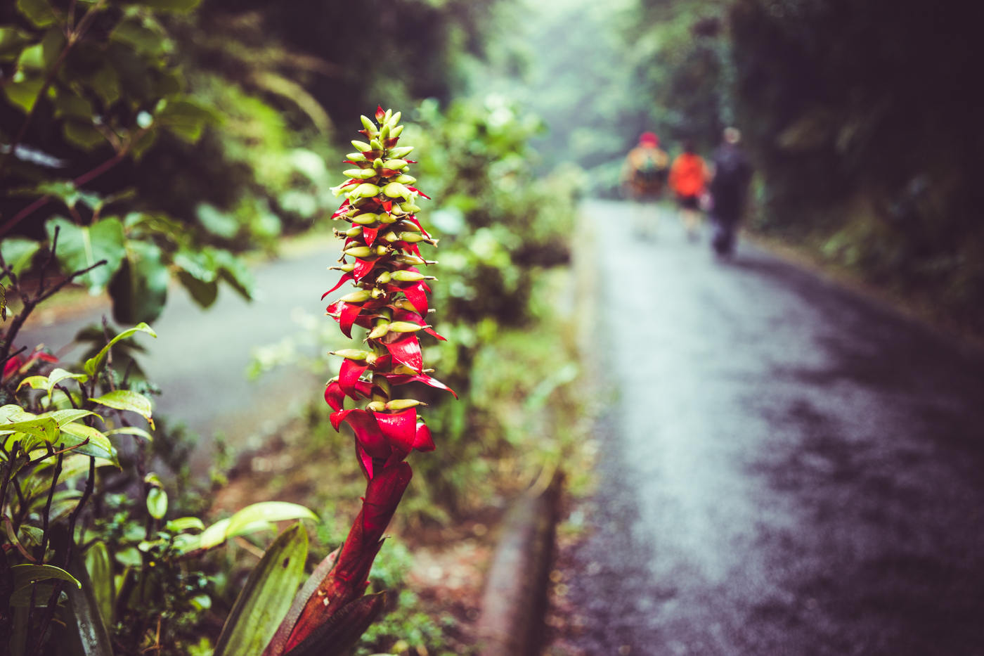 a tropical plant along the path to the Poás volcano