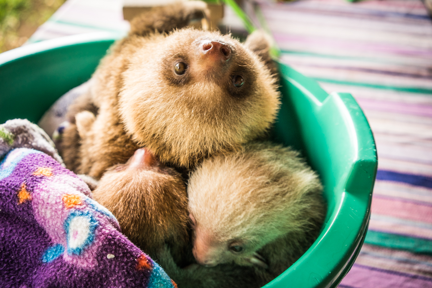 adorable baby sloths at the Toucan Rescue Ranch