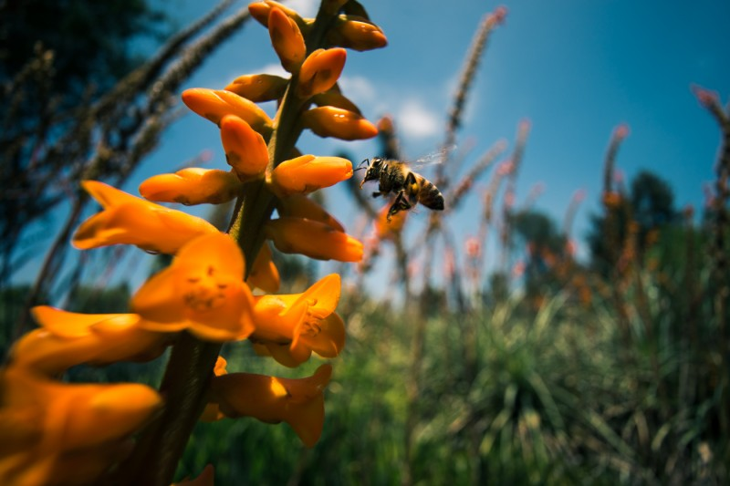 Shot of the Week: Bee and orange flowers at Huntington Botanical Gardens, California, USA
