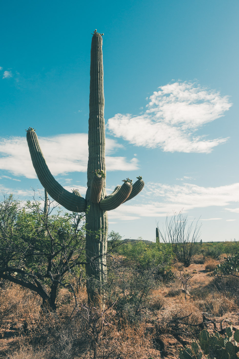 Saguaro cactus at Saguaro National Park, Texas
