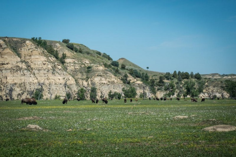 bison and prairie dogs in Theodore Roosevelt National Park, North Dakota