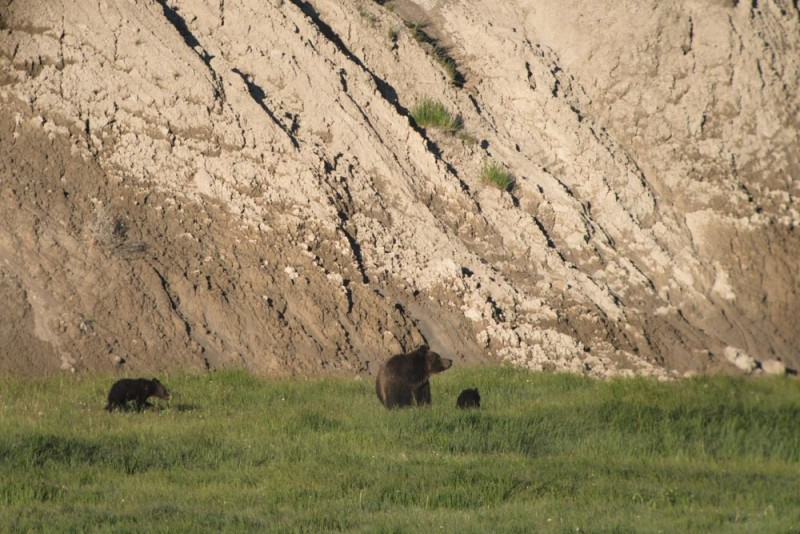 Yellowstone mama bear and cubs