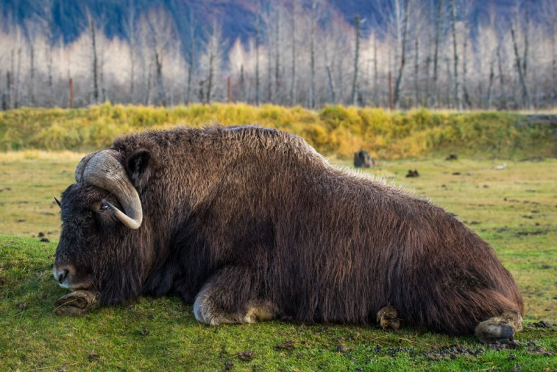 Things to Do in Alaska: Get a Close-up Look at Wildlife at the Alaska Wildlife Conservation Center
