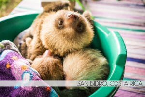 Baby Sloths at the Toucan Rescue Ranch in San Isidro, Costa Rica