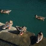 ducks in Boston harbor