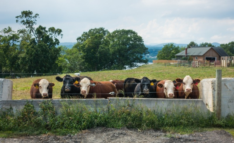 cows in upstate New York