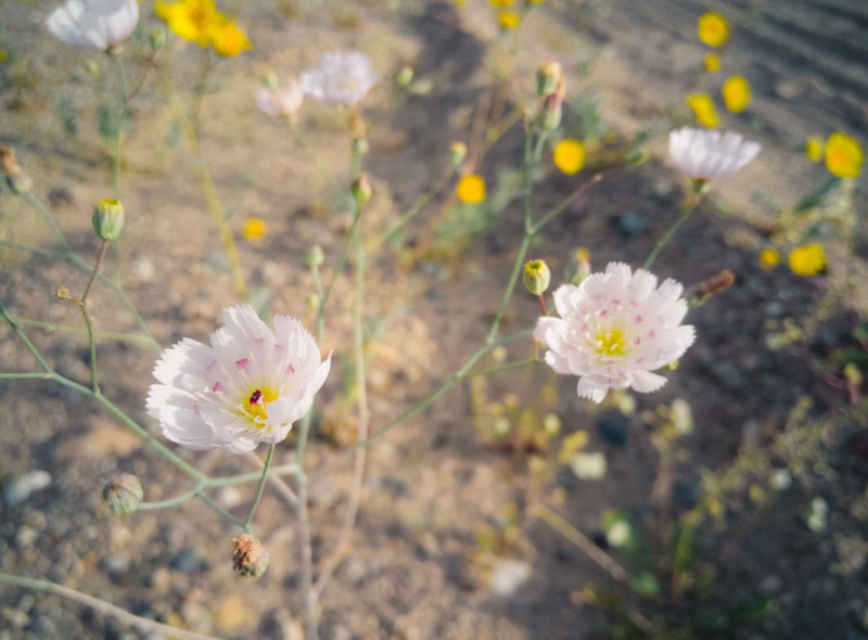 Death Valley Superbloom Spring 2016 on North to South: a Photo Journal