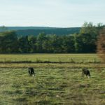 U.S. Road Trip Re-Cap: Week Nineteen -- cows and green pastures in West Virginia