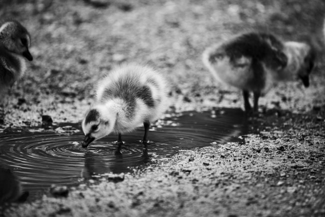 Goslings of Lincoln Park, Chicago, Illinois