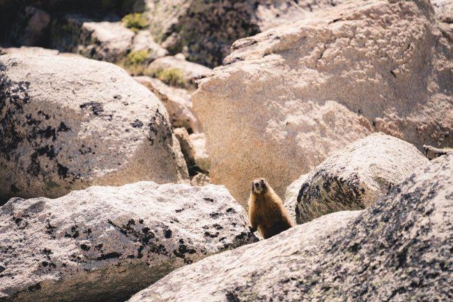 Marmot at Consultation Lake - Hiking Mt Whitney on northtosouth.us